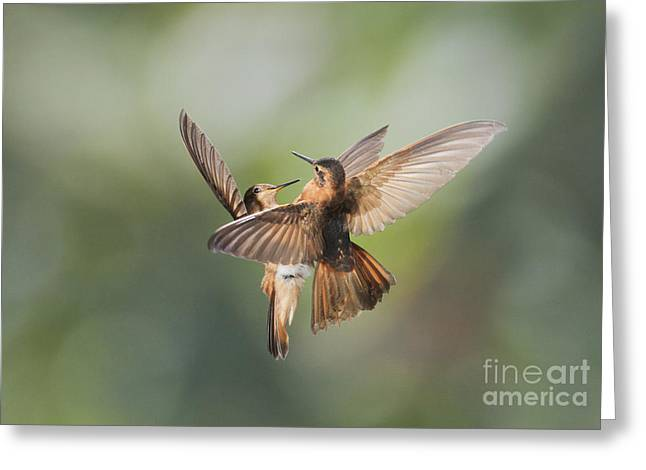 Shining Sunbeam Hummingbirds Greeting Card by Dan Suzio