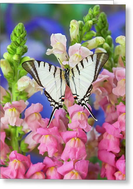 Short-lined Kite Swallowtail Butterfly Greeting Card