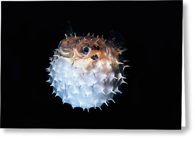 Short-spined Porcupinefish Greeting Card by Jeff Rotman