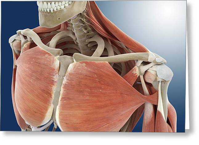 Shoulder And Chest Anatomy Greeting Card