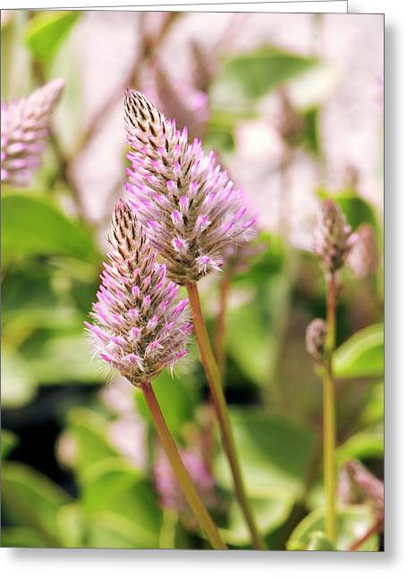 Showy Foxtail (ptilotus Exaltatus) Greeting Card by Adrian Thomas