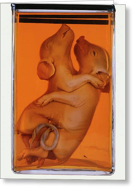 Siamese Piglets Greeting Card