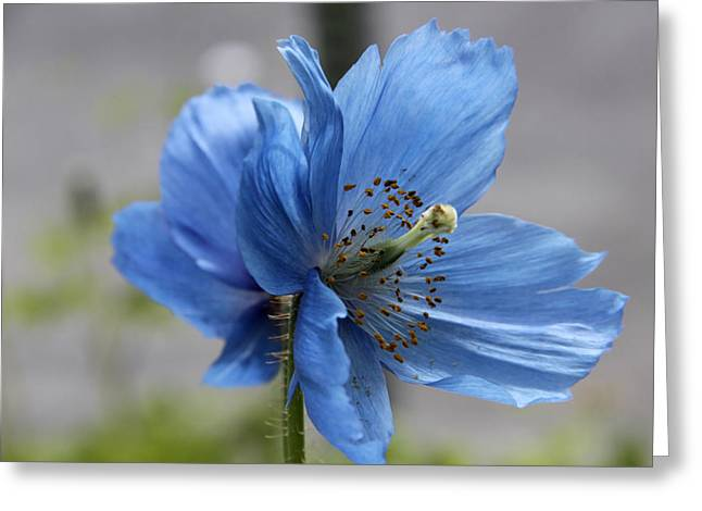 Simplicity In Blue Greeting Card