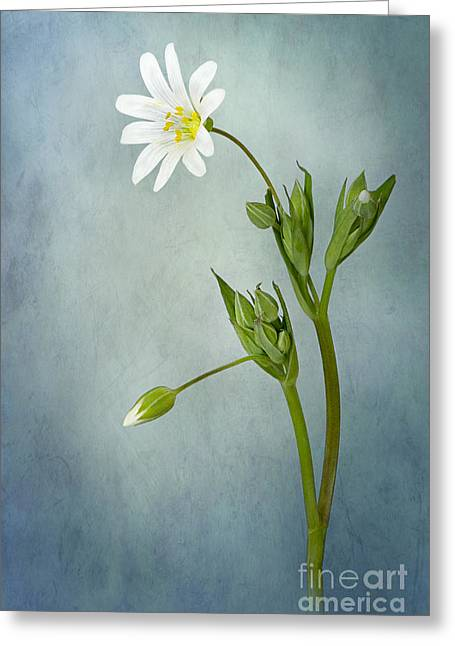 Simply Stitchwort Greeting Card by Jacky Parker