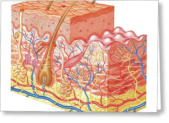 Skin Layers Greeting Card by Asklepios Medical Atlas