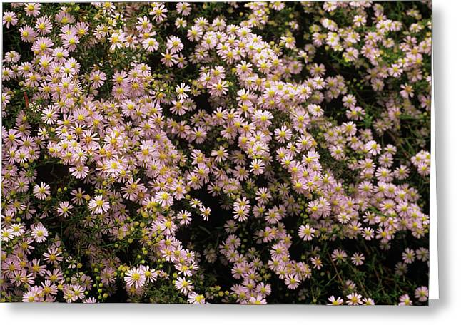 Sky Blue Aster Flowers Greeting Card by Anthony Cooper/science Photo Library