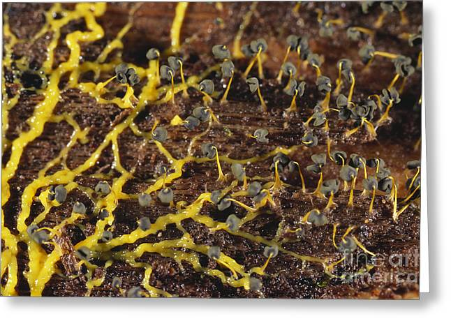 Slime Mold Plasmodium And Sporangia Greeting Card by Gregory G. Dimijian, M.D.