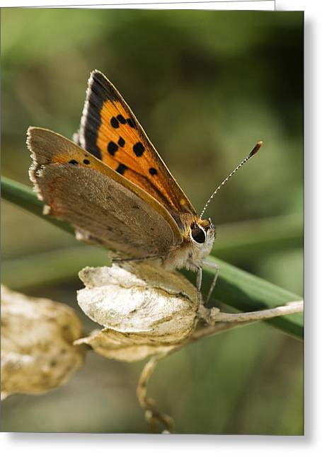 Small Copper Butterfly Greeting Card