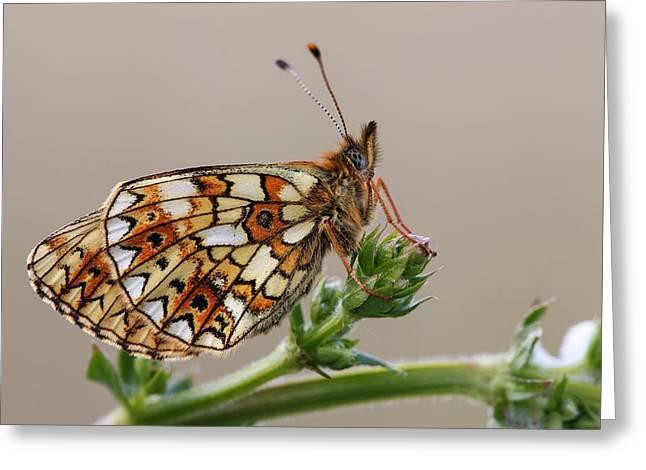 Small Pearl Bordered Fritillary Greeting Card by Heath Mcdonald