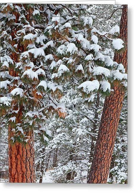 Snow Fills The Boughs Of Ponderosa Pine Greeting Card