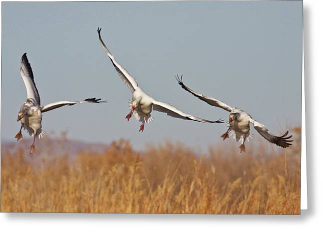 Snow Geese (chen Caerulescens Greeting Card