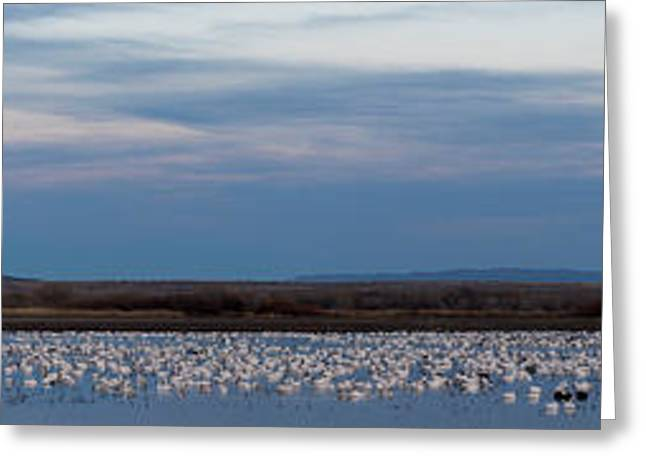 Snow Geese Chen Caerulescens On Large Greeting Card