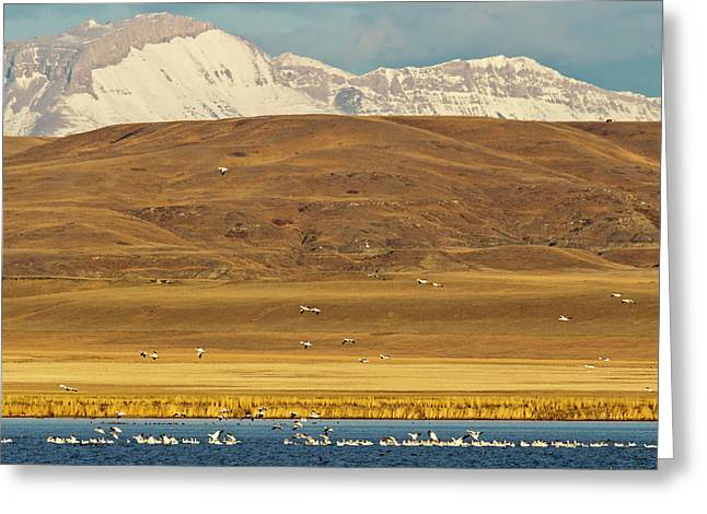 Snow Geese During Spring Migration Greeting Card