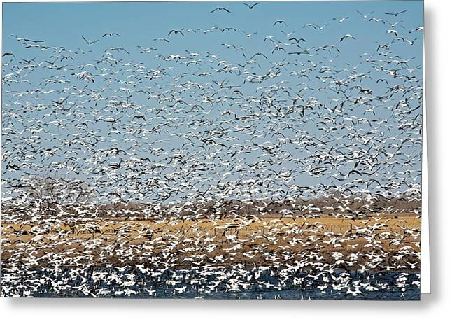 Snow Geese Flock Greeting Card by Jim West