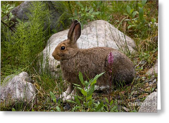 Greeting Card featuring the photograph Snowshoe Hare by Chris Scroggins