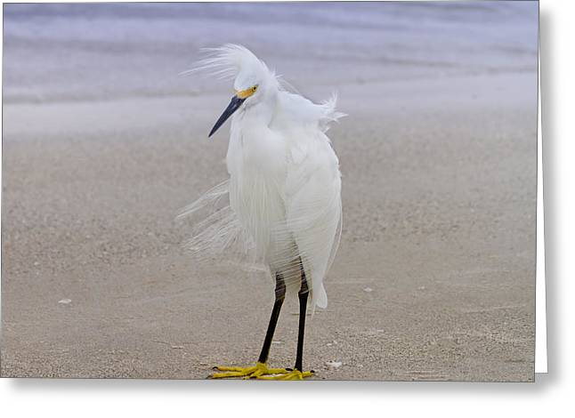 Snowy Egret At The Beach Greeting Card by Kim Hojnacki