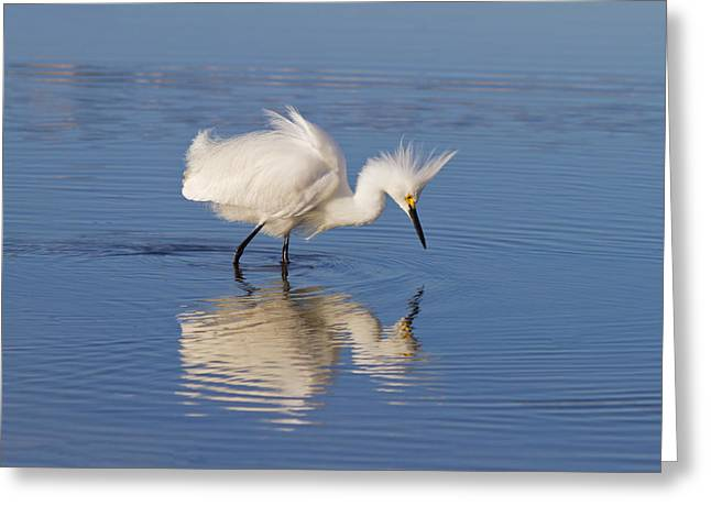 Snowy Egret Greeting Card by Kim Hojnacki
