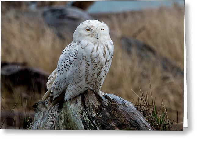 Snowy Owl Greeting Card by David Yack