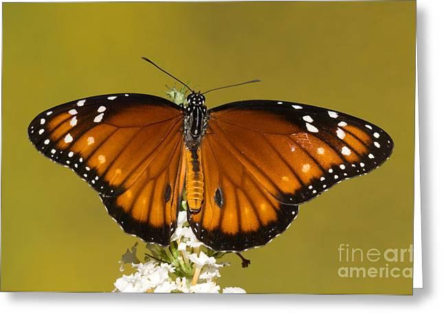 Soldier Butterfly Danaus Eresimus Greeting Card