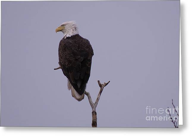 Solo  Bald Eagle Greeting Card