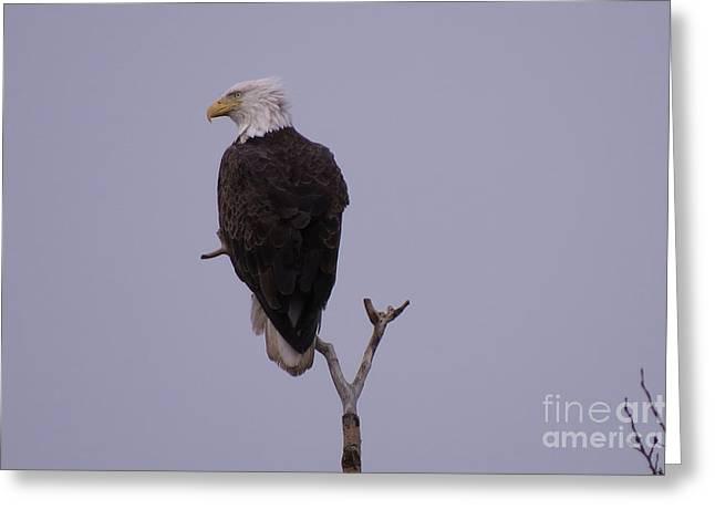 Solo  Bald Eagle Greeting Card