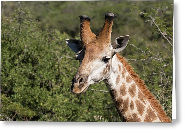 South Africa, Durban, Tala Game Reserve Greeting Card by Cindy Miller Hopkins