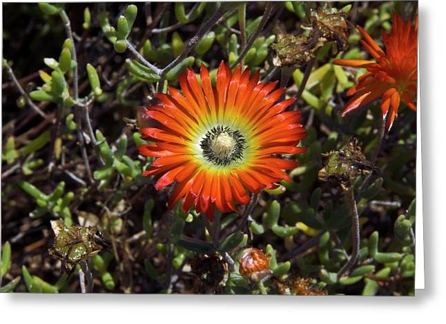 South African Flowers Greeting Card by Dr P. Marazzi/science Photo Library