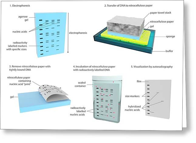 Southern Blot Dna Analysis Greeting Card by Science Photo Library