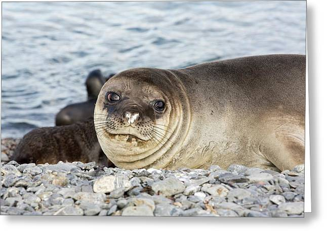 Southern Elephant Seal Greeting Card by Ashley Cooper