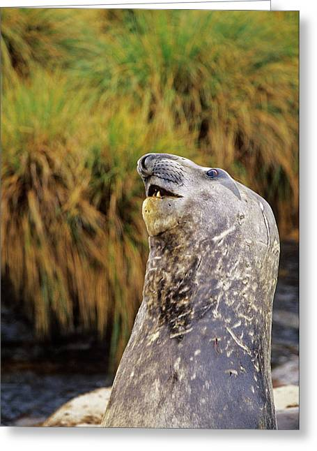 Southern Elephant Seal Bulls In Mock Greeting Card