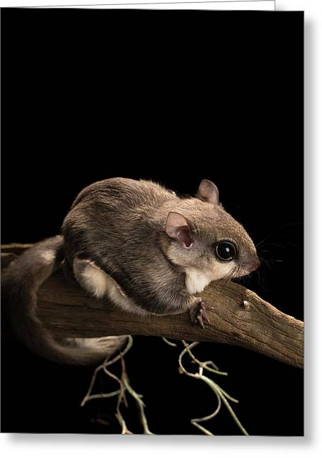 Southern Flying Squirrel, Glaucomys Greeting Card