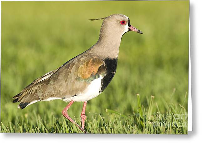 Southern Lapwing Greeting Card by William H. Mullins