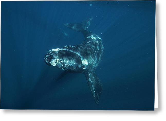 Southern Right Whale Calf Valdes Greeting Card
