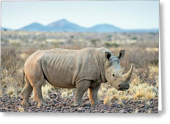 Southern White Rhinoceros Greeting Card
