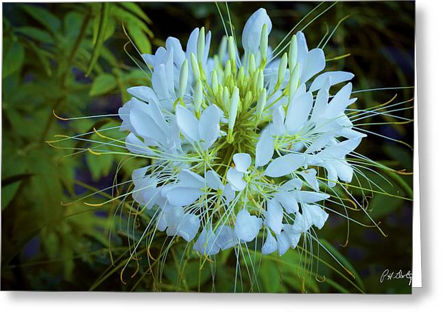 Sparkler White Cleome Greeting Card by Phill Doherty