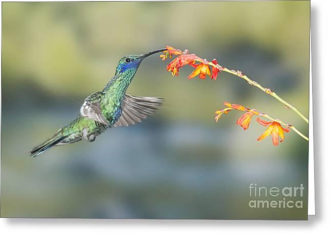 Sparkling Violet-ear Hummingbird Greeting Card