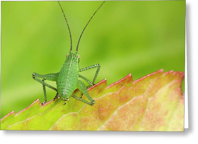Speckled Bush Cricket Nymph Greeting Card by Nigel Downer