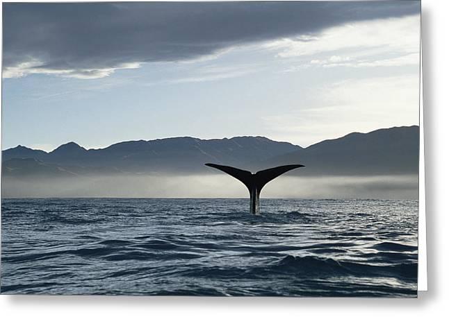 Sperm Whale Physeter Macrocephalus Greeting Card by Flip Nicklin
