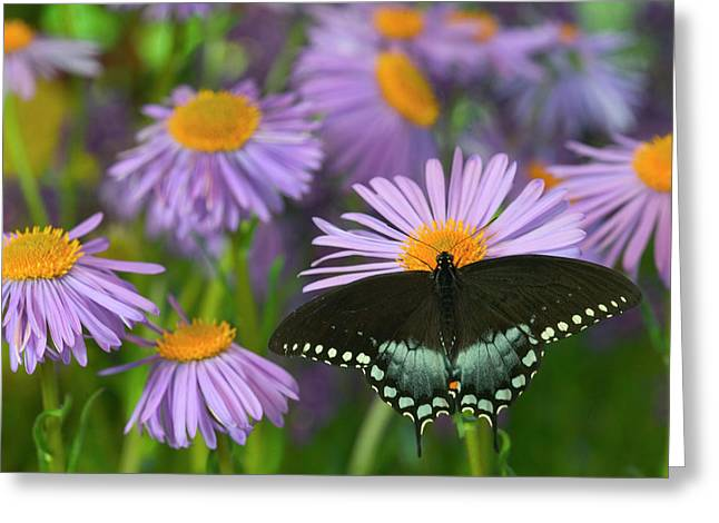 Spicebush Swallowtail Butterfly Greeting Card by Darrell Gulin