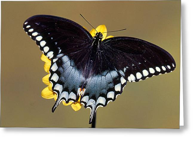 Spicebush Swallowtail Butterfly Greeting Card by Millard H Sharp