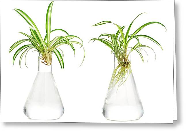 Spider Plant Rooting Greeting Card by Science Photo Library