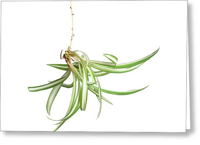 Spider Plant Greeting Card by Science Photo Library