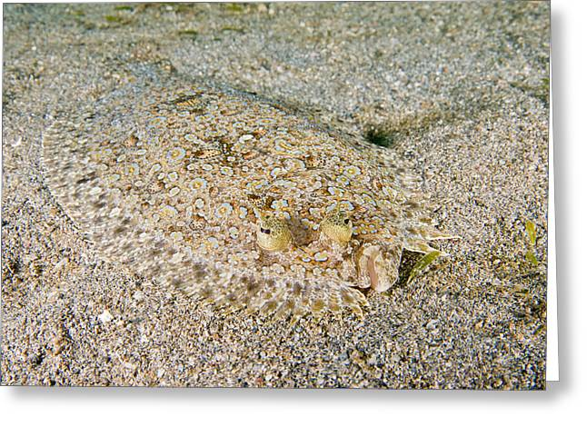 Spiny Flounder Greeting Card by Andrew J. Martinez