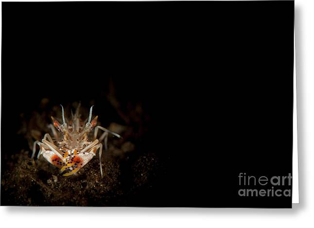 Spiny Tiger Shrimp Amongst Volcanic Greeting Card by Steve Jones