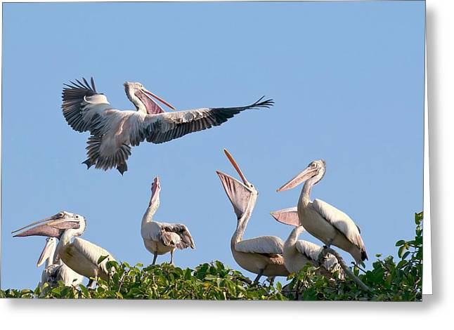 Spot-billed Pelican In Flight Greeting Card