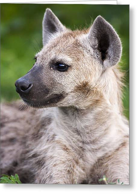 Spotted Hyena Greeting Card by Sean McSweeney