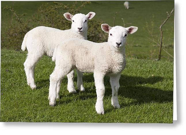 Spring Lambs Greeting Card