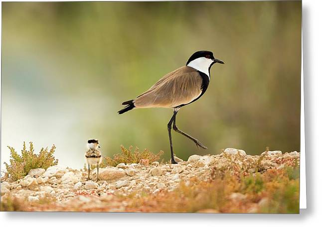 Spur-winged Lapwing Vanellus Spinosus Greeting Card by Photostock-israel