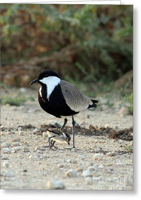 Spur-winged Plover And Chick Greeting Card by PhotoStock-Israel