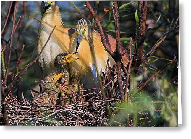 Squacco Heron (ardeola Ralloides Greeting Card